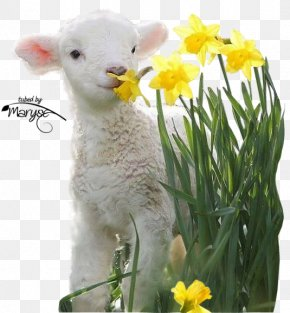 Goat - Valais Blacknose Lamb And Mutton Goat Infant Easter PNG