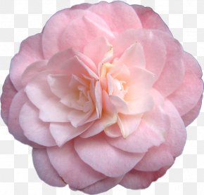 Rose - Japanese Camellia Pink Flowers Rose PNG