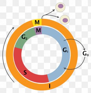 Life Science Pictures - Cell Cycle Cell Division Mitosis Interphase PNG