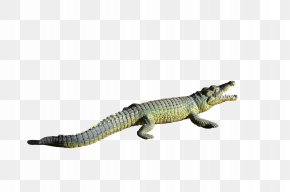 Alligator Transparent - Alligator Crocodiles PNG