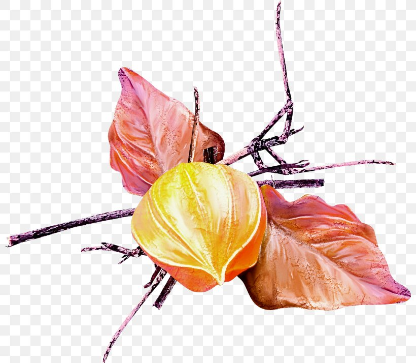 Flower Leaf Plant Peruvian Groundcherry Still Life Photography, PNG, 800x714px, Flower, Anthurium, Branch, Leaf, Peruvian Groundcherry Download Free