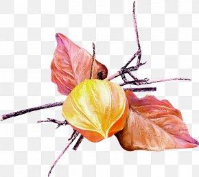 Plant Stem Branch - Flower Leaf Plant Peruvian Groundcherry Still Life Photography PNG
