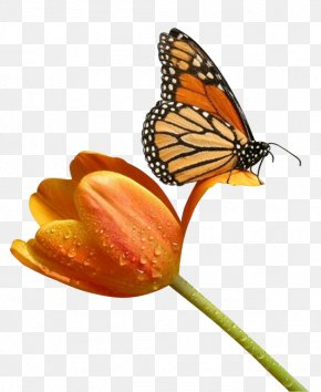 Butterfly Insect - Butterfly Insect Clip Art PNG