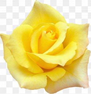 White Rose - Rose Quotation Desktop Wallpaper Yellow PNG