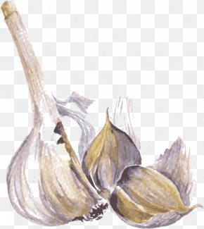Garlic Vector - Watercolor Painting Drawing Spice Illustration PNG