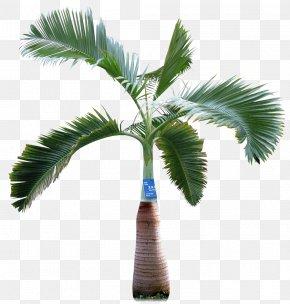 Palm Tree - Asian Palmyra Palm Arecaceae Tree PNG