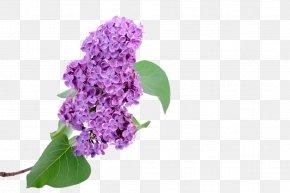 Lilac - Euclidean Vector Hyacinth PNG