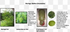 Moringa - Tree Leaf Vegetable Grasses Plant Stem Family PNG