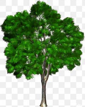 Green Tree - Tree Woody Plant Ornamental Plant Clip Art PNG