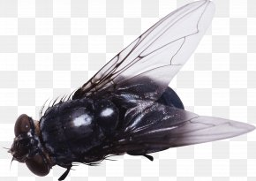 Fly Image - Fly Insect Clip Art PNG