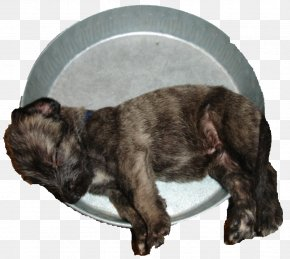 Puppy - Puppy Irish Wolfhound Rare Breed (dog) Dog Breed Cairn Terrier PNG