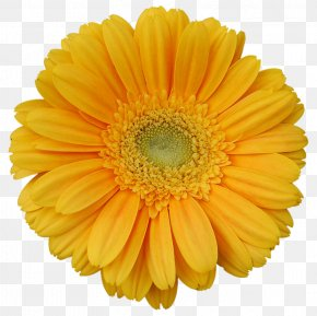 Flower - Transvaal Daisy Yellow Stock Photography Flower Clip Art PNG