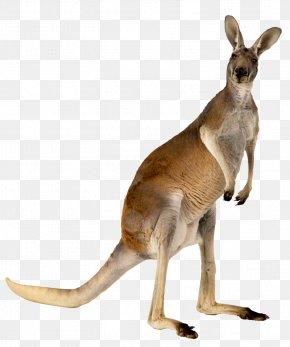 Kangaroo,animal - Australia Kangaroo Animal PNG