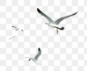 Seagull - Gulls Bird PNG