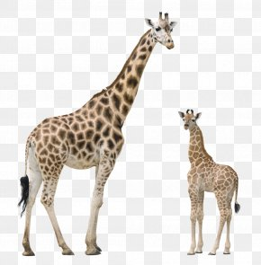 Giraffe - Giraffe Pixabay Illustration PNG