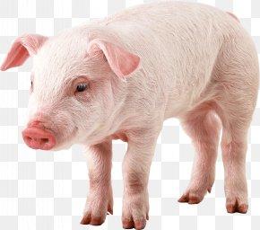 Pig Image - Domestic Pig Guinea Pig Clip Art PNG