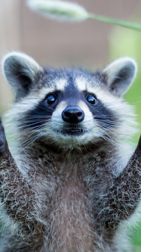 Raccoon - 1080p High-definition Video Desktop Wallpaper Display Resolution High-definition Television PNG