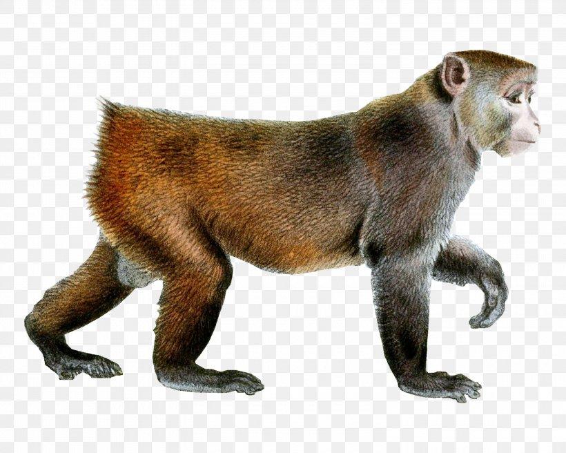 Monkey Rhesus Macaque Clip Art, PNG, 3000x2400px, Primate, Animal, Cat Like Mammal, Fauna, Fur Download Free