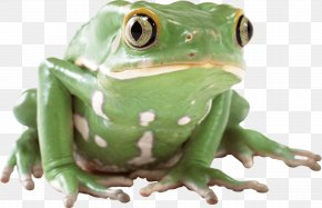 Frog Image - Frog Lithobates Clamitans PNG