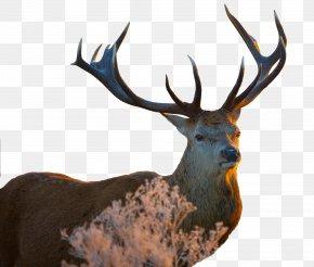Deer - White-tailed Deer Image Resolution Wallpaper PNG