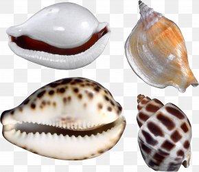 Seashell - Cockle Conchology Nautilida Seashell PNG