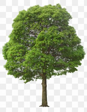 Lush Tree - Tree Clip Art PNG