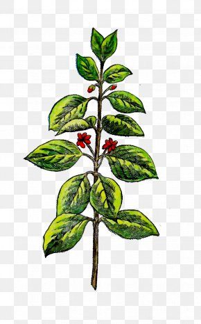 Indian Sandalwood Branch Plants Herbaceous Plant Drawing PNG
