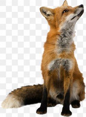 Fox - Fox Wallpaper PNG
