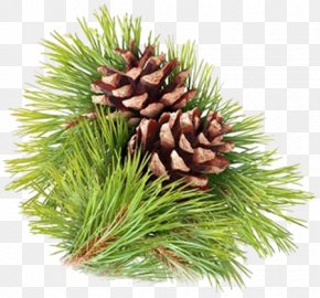 Stock Photography Pine Strobilus Conifer Cone Royalty-free PNG