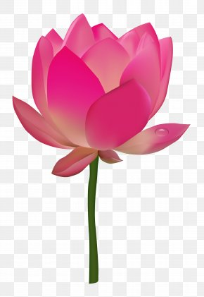 Lotus Flower - Nelumbo Nucifera Flower Lotus PNG
