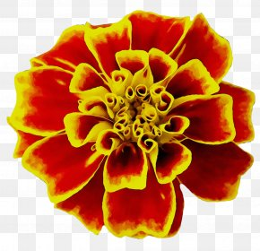 Mexican Marigold Flower Seed Image English Marigold PNG
