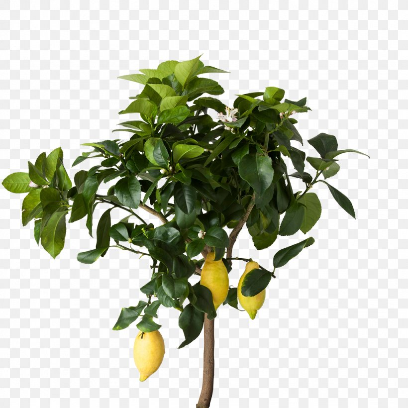 Lemon Houseplant Ikea Flowerpot Png