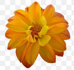 Orange - Dahlia Orange Flower Yellow PNG