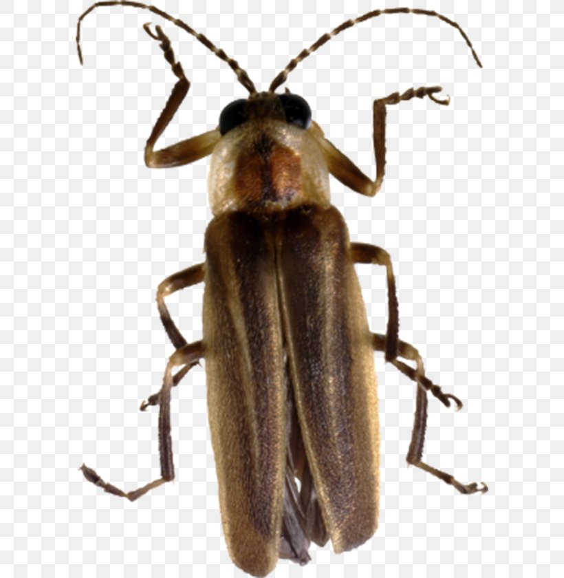 Beetle Firefly Clip Art, PNG, 600x840px, Beetle, Arthropod, Brown Marmorated Stink Bug, Clipping Path, Firefly Download Free