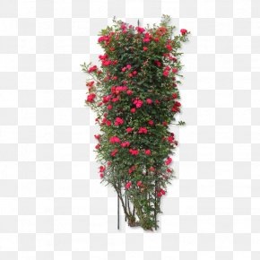 Rose Flowers - Rosa Chinensis Arborvitae Plant Flower PNG