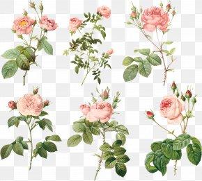 Pink Flowers - Garden Roses Centifolia Roses MacBook Air Floral Design Flowerpot PNG