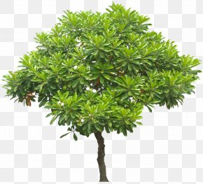 Jual Pohon Bintaro Di Kebumen - Learn About Trees Juglans Stock Photography Clip Art PNG