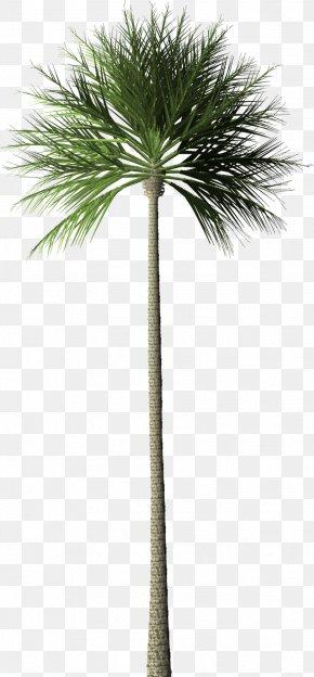 Palm Tree - Arecaceae Tree Palm Oil Oil Palms Rainforest PNG