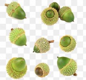 Acorn - Kiwifruit Oak Acorn PNG