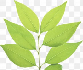 Green Leaf - Green Leaf PNG