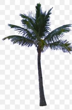 Palm Tree - Asian Palmyra Palm Date Palm Coconut Arecaceae PNG