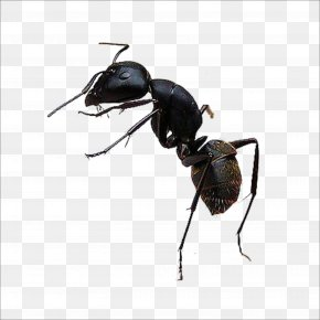Ant - Black Garden Ant Insect PNG