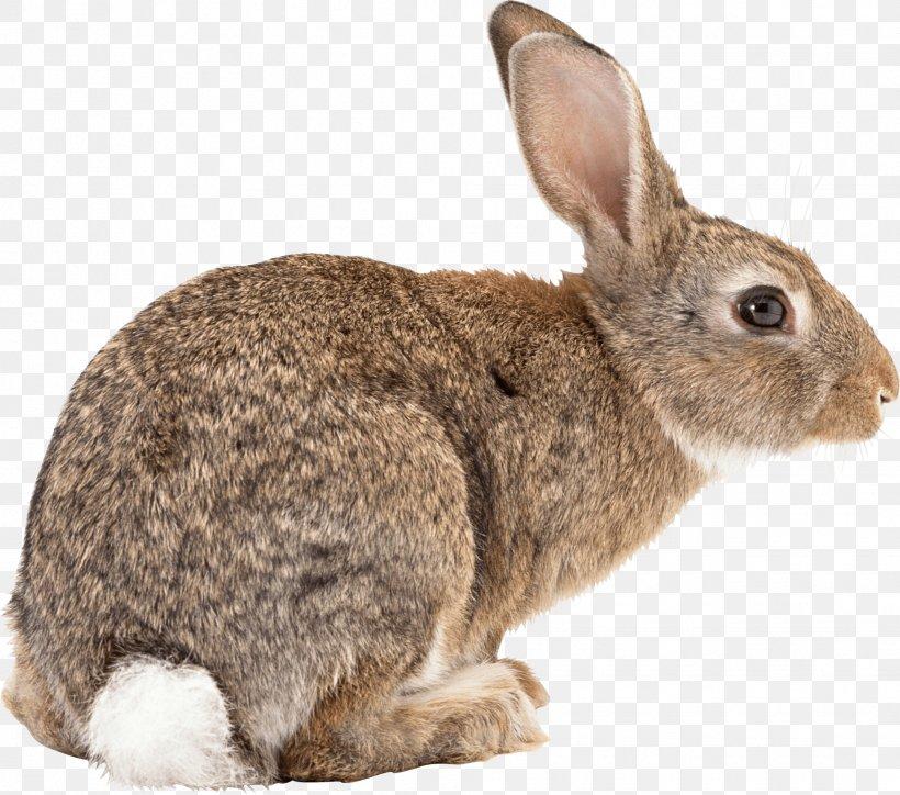 Flemish Giant Rabbit Easter Bunny Californian Rabbit Angora