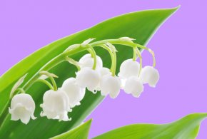 Lily Of The Valley - Lily Of The Valley Flower 1 May Labour Day PNG