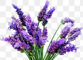 Plant - English Lavender Lavandula Latifolia Plant French Lavender Lavender Oil PNG