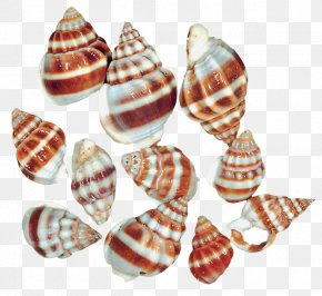 Transparent Sea Snail Shells Clipart - Seashell Sea Snail Clip Art PNG