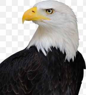 United States - America's Bald Eagle United States Bird Endangered Species Act Of 1973 PNG