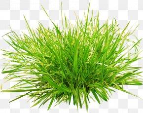 Green Grass Plant - Grasses Clip Art PNG