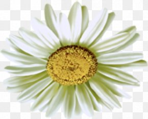 Camomile Flower - Common Daisy Chamomile PNG