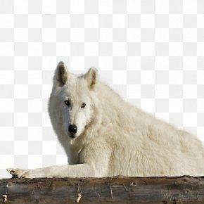 Alaskan Tundra Wolf Wildlife Fauna Snout Gray Wolf PNG